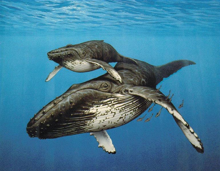 a55c8dd700_Humpback-Whale